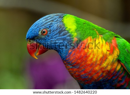 Side view Closeup of beautiful and colorful Lorikeet Green-naped bird (Trichoglossus Haematodus) Also Known As A Rainbow Lorikeet, looking around