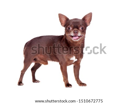 Side view full length picture of standing brown chihuahua dog