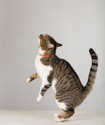 Side view full length portrait of playful cute cat standing up on hind paws trying to catch something showing isolated on grey wall background with copy space.