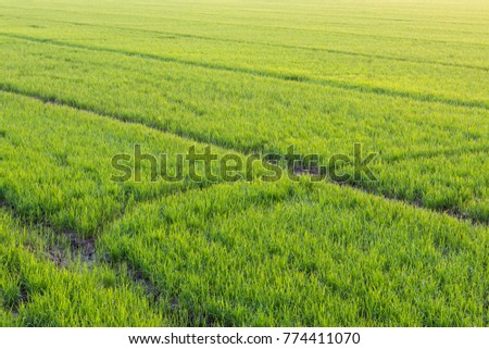 Side view Green rice seedlings are growing in abundance on the cracked soil of rural Thailand. #774411070