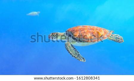 side view green turtle swimming in blue ocean water Сток-фото ©
