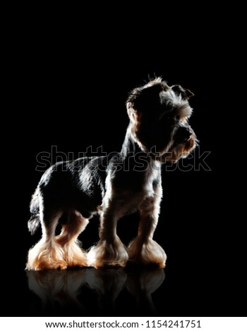 Side view low key picture of a standing yorkshire terrier