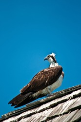 side view, medium distance of a single osprey standing on a wood, shingled roof, with head twisted almost 180 degrees , looking behind