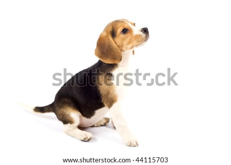 side view of a Beagle in front of white background