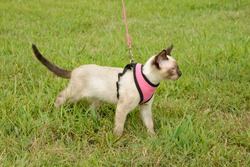 Side view of a beautiful young Siamese cat on an outdoor adventure in harness in green grass