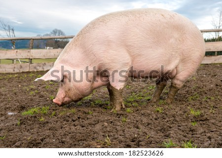 Side view of a big pig on a farm #182523626