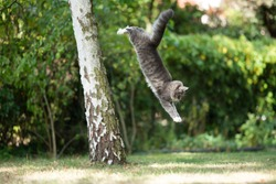 side view of a blue tabby white maine coon cat jumping down from birch tree in the back yard