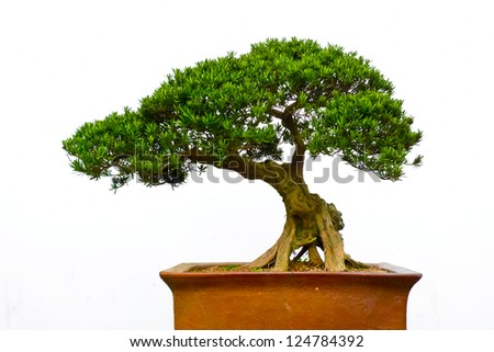 Side view of a bonsai tree against a white wall