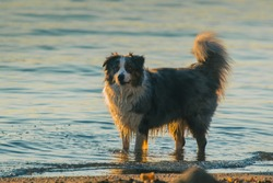 Side view of a Border Collie dog playing in the water. Alert dog in the sea or lake. Evening low key photo of bordercollie. Water dripping from his mouth