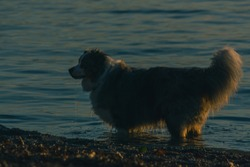 Side view of a Border Collie dog playing in the water. Alert dog in the sea or lake. Evening low key photo of bordercollie.