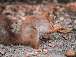 Side view of a brown squirrel sitting between acorns and nuts on the forest floor and holding a walnut in its front paws.