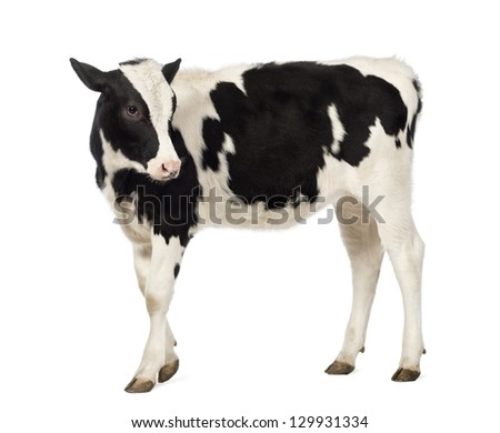 Side view of a Calf, 8 months old, looking backwards in front of white background