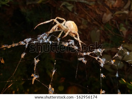 Side view of a cat face orb-weaver spider Araneus gemmoides on a web full of gnats