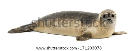 Side view of a Common seal lying, looking at the camera, Phoca vitulina, 8 months old, isolated on white