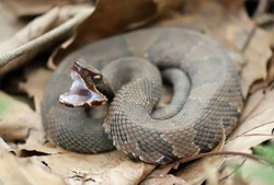 Side view of a Cottonmouth snake, ready to strike
