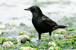 Side view of a crow walking in seaweed on the Puget Sound