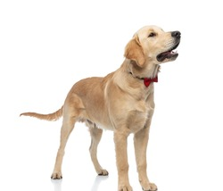 side view of a cute dog barking, wearing a red bowtie and standing against white background