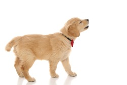 side view of a cute golden retriever dog standing, barking at something and wearing a red bowtie on white studio background