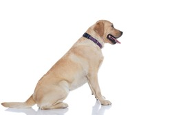 side view of a cute labrador retriever dog waiting in line and wearing a purple leash against white background