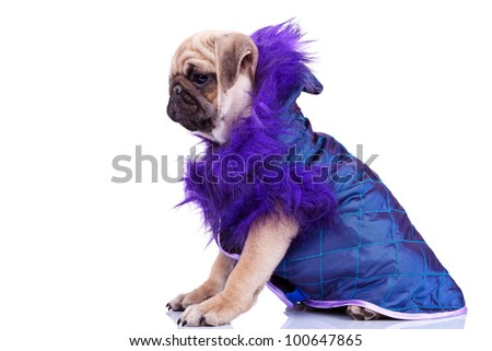 side view of a cute pug puppy dog looking at something and wearing a purple cape on white background