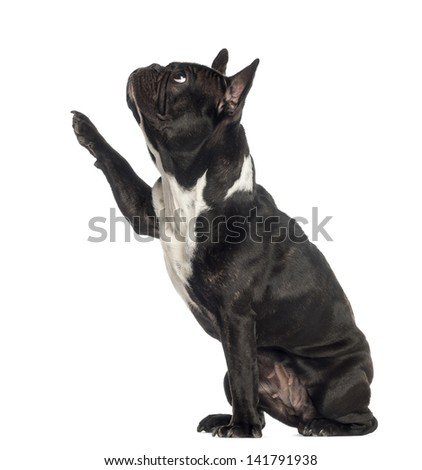 Side view of a French Bulldog pawing up, looking up, isolated on white