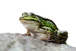 Side view of a green frog sitting on a rock facing left and isolated on white background