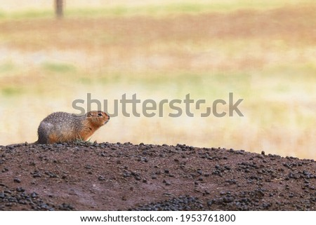 Side view of a ground squirrel sitting on a mound Stockfoto ©