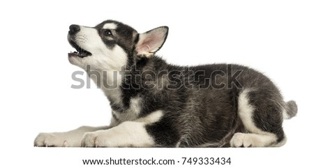 Side view of a Husky malamute puppy howling, isolated on white