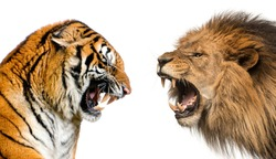 Side view of a lion and a tiger roaring ready to fight, isolated on white