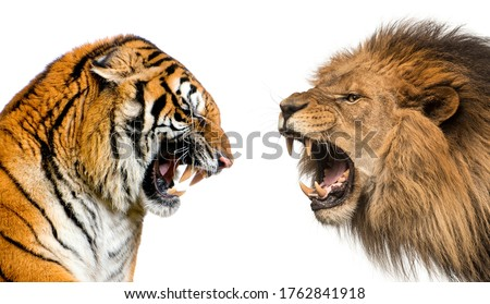 Side view of a lion and a tiger roaring ready to fight, isolated on white Foto stock ©