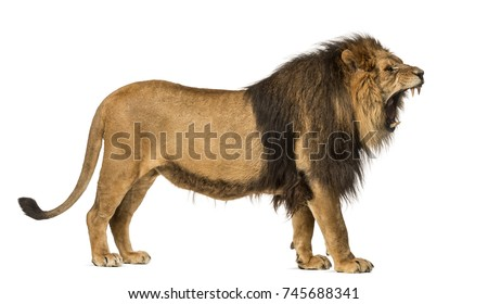 Side view of a Lion roaring, standing, Panthera Leo, 10 years old, isolated on white #745688341