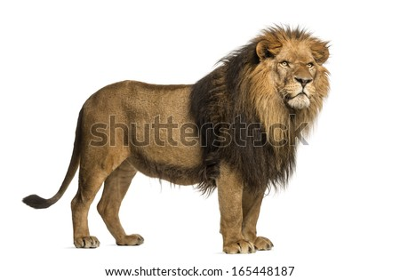 Side view of a Lion standing, Panthera Leo, 10 years old, isolated on white
