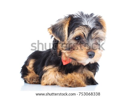 Side View Of A Little Yorkie Puppy Looking Away From The Camera On