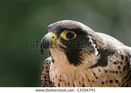 Side view of a peregrine falcon with green background. DOF