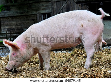 Side view of a pig on a farm