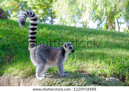 Side view of a posing  ring tailed  Maki Catta lemur, with big orange eyes.  Green grass and the trees on the  background.