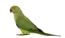 Side view of a Rose-ringed Parakeet, Psittacula krameri, also known as Ring-necked Parakeet against white background