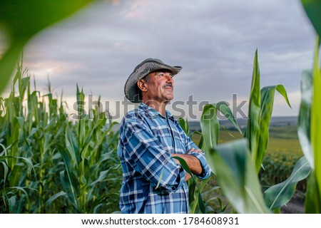 side view of a senior farmer standing in corn field examining crop at sunset