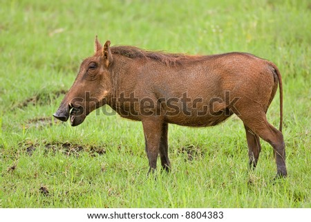 Side view of a warthog standing on green grass ; Phacochoerus aethioplus; South Africa
