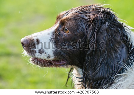 Side view of a wet Springer Spaniel #428907508