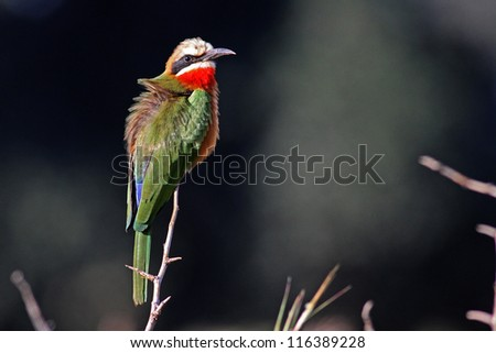Side view of a Whitefronted Bee-eater ; merops bullockoides; South Africa