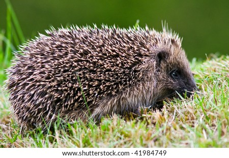 Side view of a wild hedgehog on a lawn in autumn.
