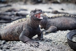 side view of a yawning Galapagos Marine Iguana amongst a group of Iguanas