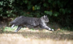 side view of a young blue tabby maine coon cat with white paws running on dry grass outdoors in the garden on a hot and sunny summer day looking ahead