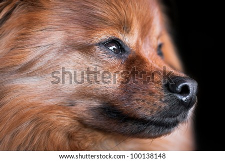 Side view of a young female Pomeranian Dog