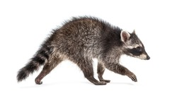 Side view of a young walking raccoon isolated on white