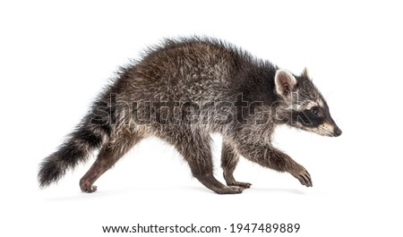 Side view of a young walking raccoon isolated on white Stock photo ©