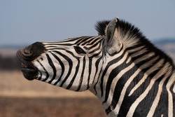 Side view of a Zebra stallion on a safari in South Africa.