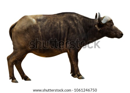 Side view of African Black Buffalo or Cape Buffalo, isolated on white background. The African Buffalo is part of the Big Five.