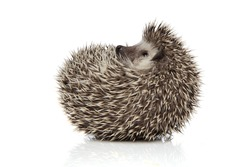 side view of an adorable african hedgehog with spiky fur rolling on back happy on white studio background